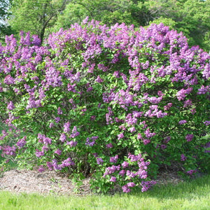 Common Lilac (bundle of 25)