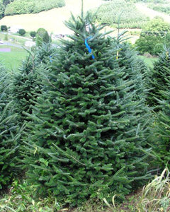 Fraser Fir (bundle of 25)