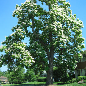 Northern Catalpa (bundle of 25)