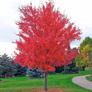 Red Maple (bundle of 25)