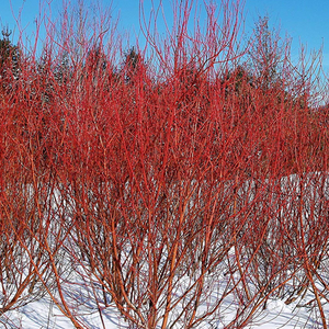 Red Osier Dogwood (bundle of 25)