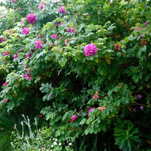 Rugosa Rose (bundle of 25)