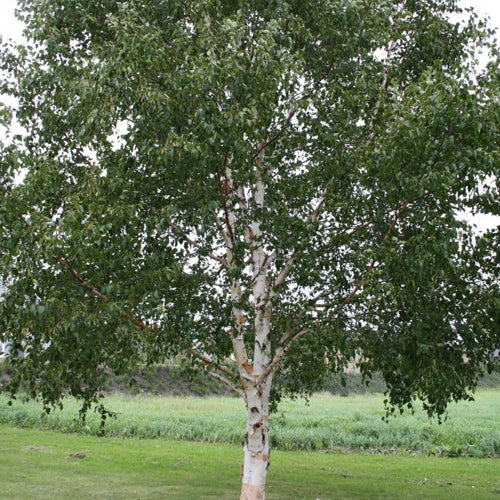 Whitespire Birch (bundle of 25)
