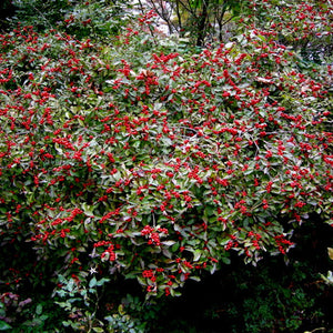 Winterberry (bundle of 25)