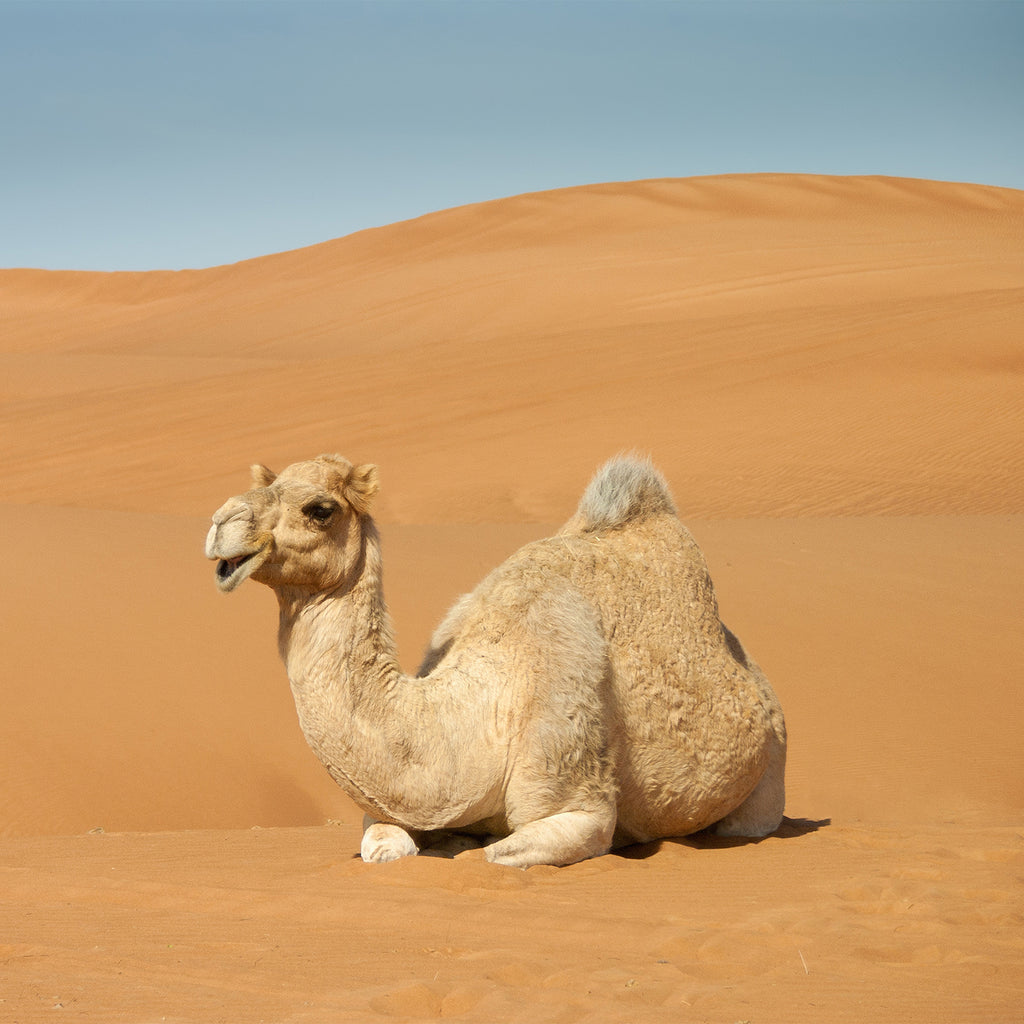 Camel Milk: Trust The Hype?