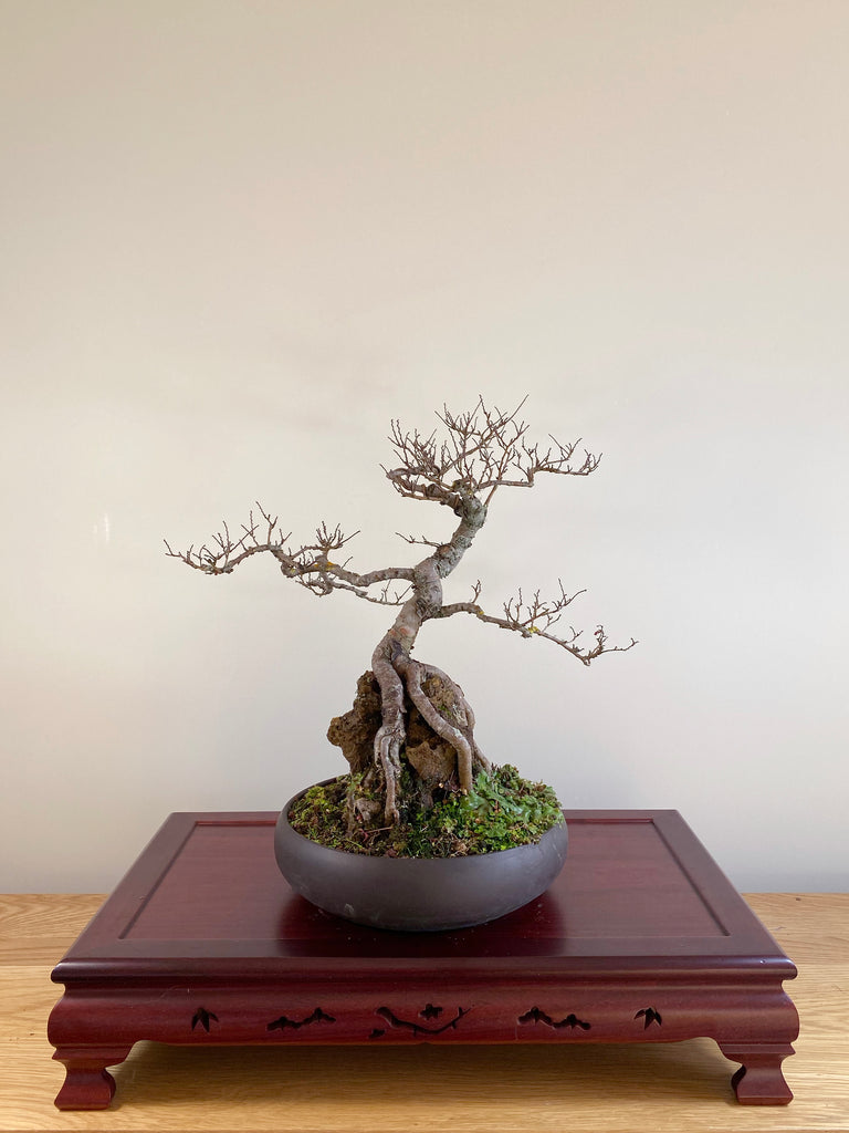 CHINESE ELM (ROOT OVER ROCK)