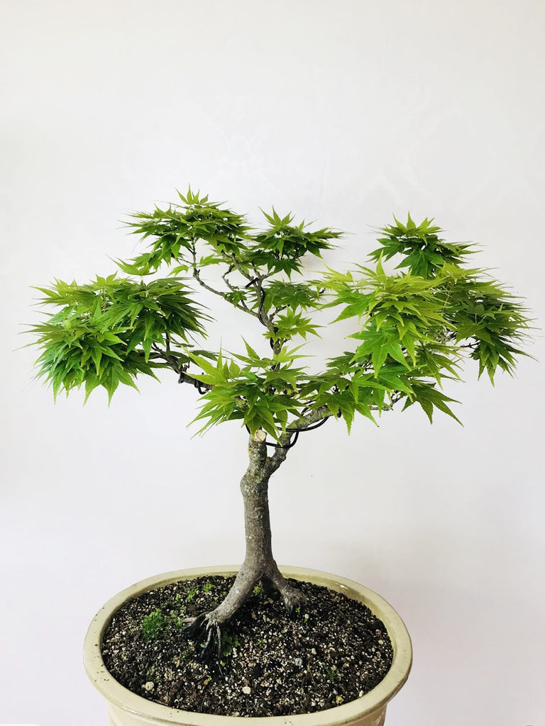 JAPANESE MIKAWA MAPLE