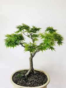 JAPANESE MIKAWA MAPLE - MiniGardens NZ