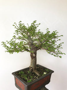 CHINESE ELM - MiniGardens NZ
