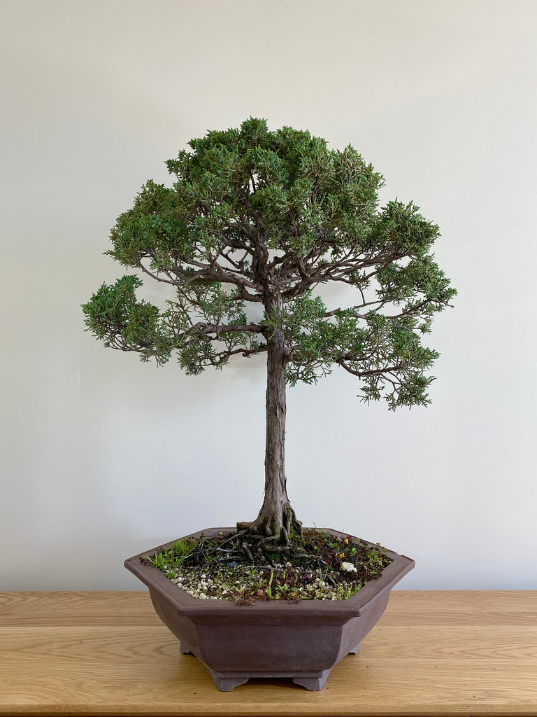 CHINESE JUNIPER (FORMAL) - MiniGardens NZ