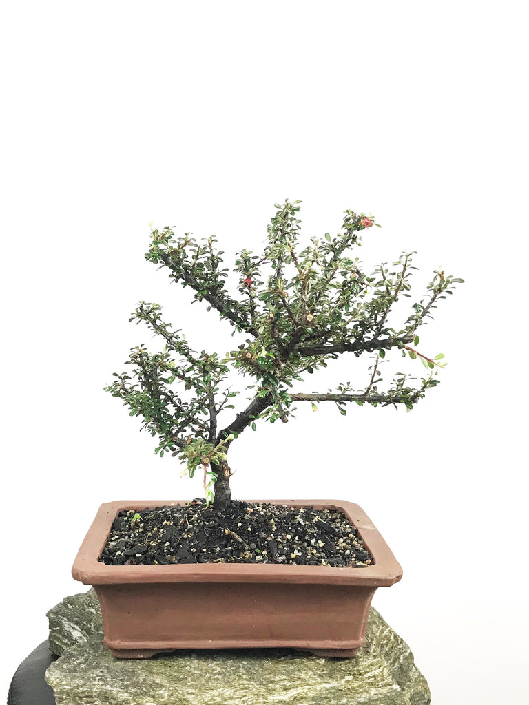 COTONEASTER (18004007)