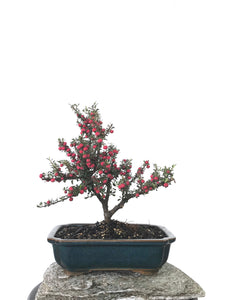 COTONEASTER (1802003)