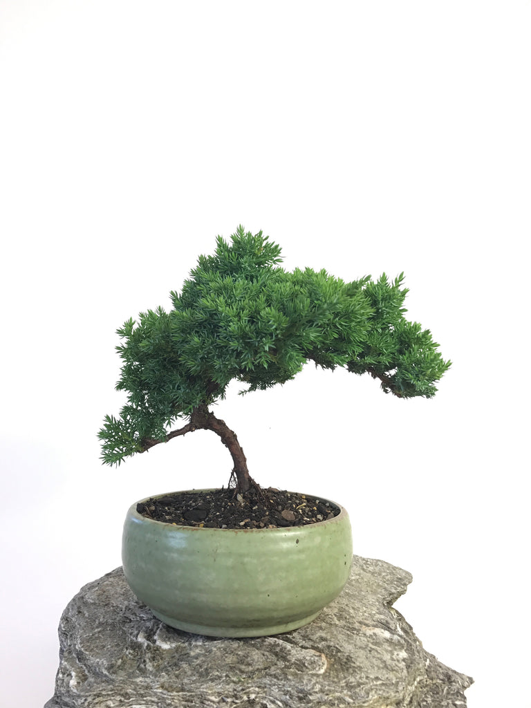 JUNIPER - MiniGardens NZ