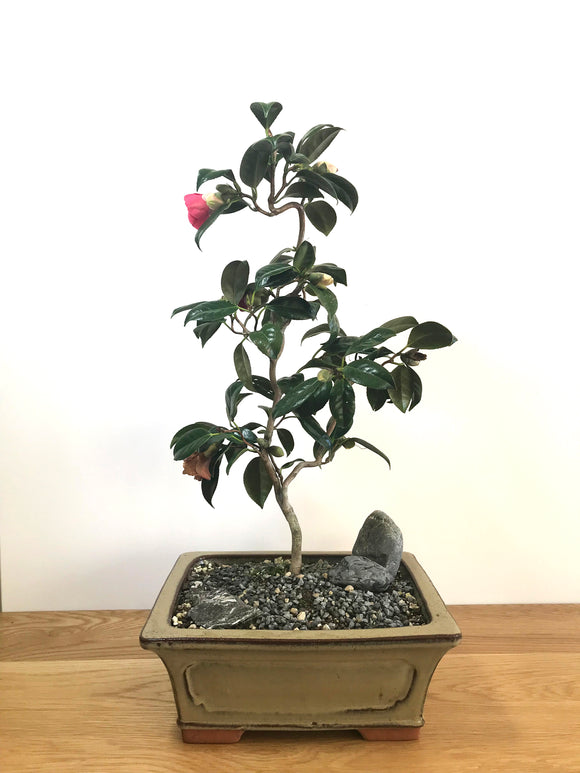 JAPANESE CURLY CAMELLIA (CAM1907001)