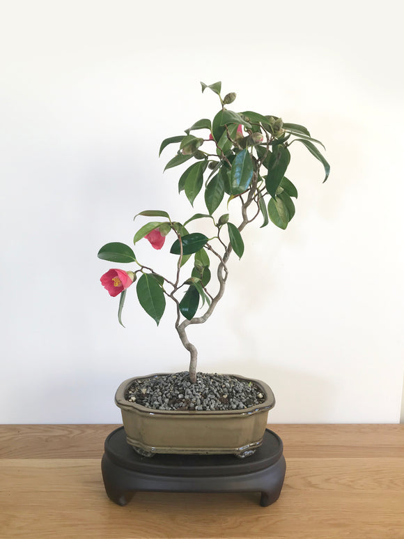 JAPANESE CURLY CAMELLIA (CAM1907004)