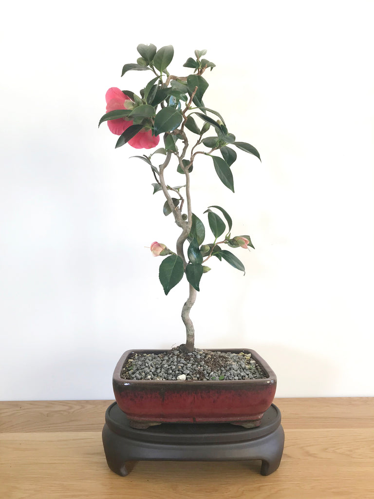 JAPANESE CURLY CAMELLIA (CAM1907005) - MiniGardens NZ