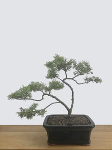 CHINESE JUNIPER (CJ12001) - MiniGardens NZ