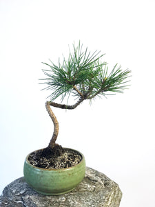 JAPANESE BLACK PINE - MiniGardens NZ