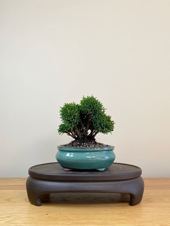 JAPANESE HINOKI CYPRESS (JC08003)