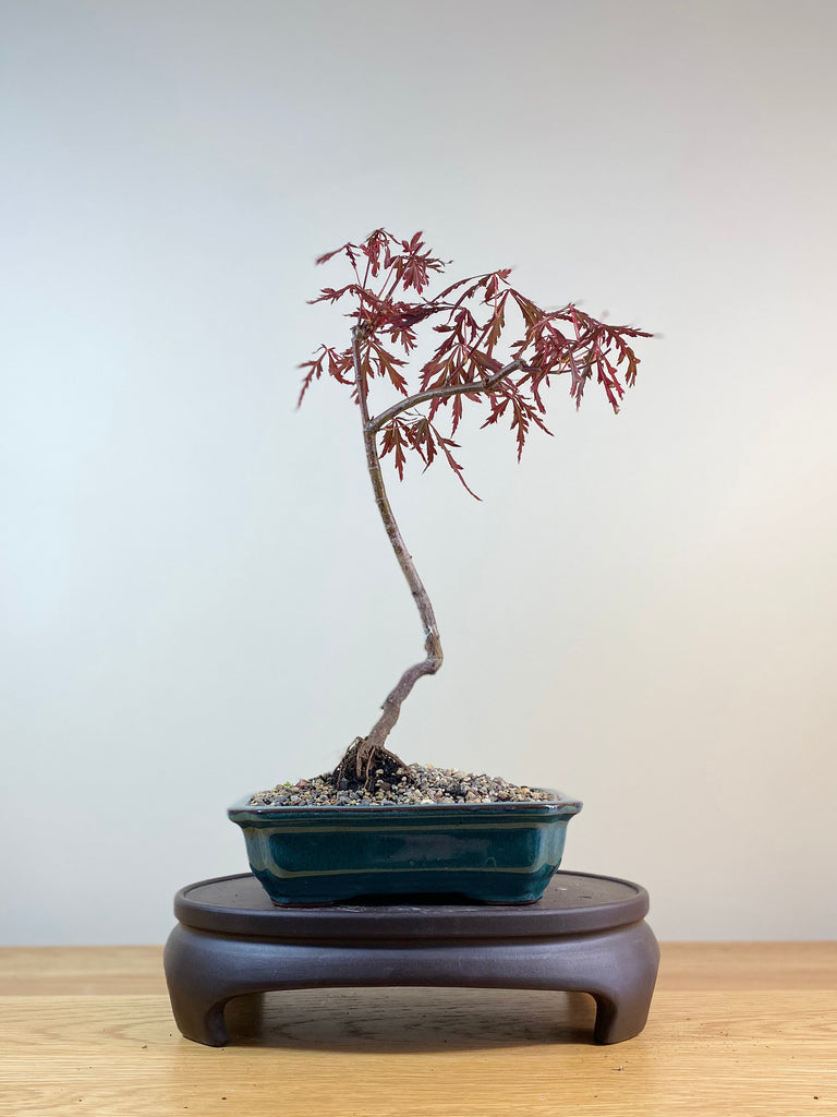 JAPANESE MAPLE (JM03002) - MiniGardens NZ