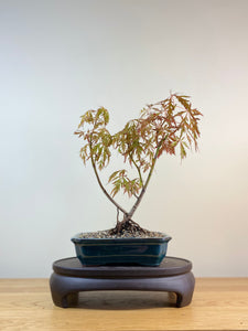 JAPANESE MAPLE (JM03003) - MiniGardens NZ