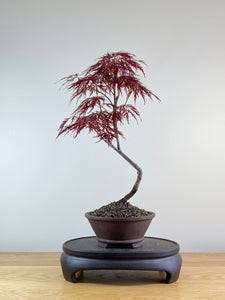JAPANESE RED LACE MAPLE (JM10001)