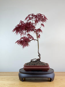 JAPANESE RED LACE MAPLE (JM10003)
