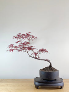 JAPANESE RED LACE MAPLE (JM10004)