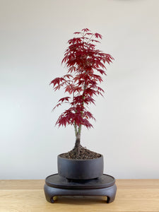 JAPANESE RED MAPLE (JM10006)