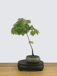 JAPANESE MAPLE (JM100077) - MiniGardens NZ