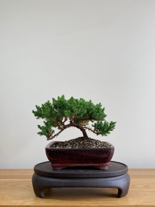 JAPANESE JUNIPER (JP01003) - MiniGardens NZ