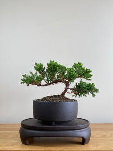 JAPANESE JUNIPER (JP01004) - MiniGardens NZ