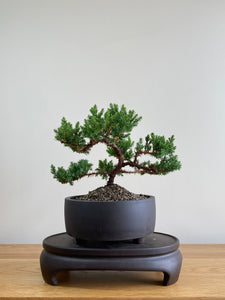 JAPANESE JUNIPER (JP01008) - MiniGardens NZ
