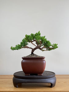 JAPANESE JUNIPER (JP01011) - MiniGardens NZ