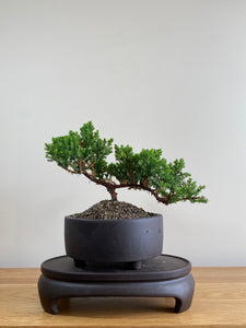 JAPANESE JUNIPER (JP01012) - MiniGardens NZ