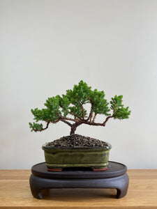 JAPANESE JUNIPER (JP01013) - MiniGardens NZ