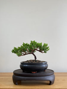 JAPANESE JUNIPER (JP01016) - MiniGardens NZ