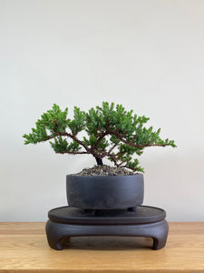 JAPANESE JUNIPER (JP02003) - MiniGardens NZ