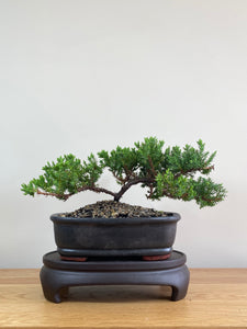 JAPANESE JUNIPER (JP02004) - MiniGardens NZ