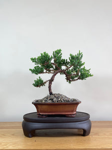 JAPANESE JUNIPER (JP02015) - MiniGardens NZ
