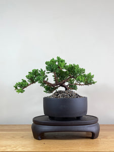 JAPANESE JUNIPER (JP02020) - MiniGardens NZ
