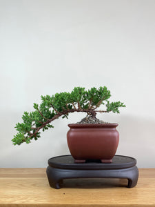 JAPANESE JUNIPER (JP02022) - MiniGardens NZ