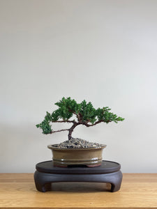 JAPANESE JUNIPER (JP03012) - MiniGardens NZ