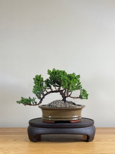 JAPANESE JUNIPER (JP03023) - MiniGardens NZ