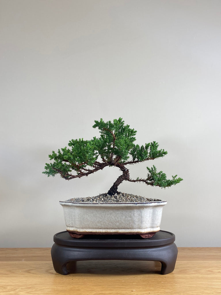 JAPANESE JUNIPER (JP03024) - MiniGardens NZ