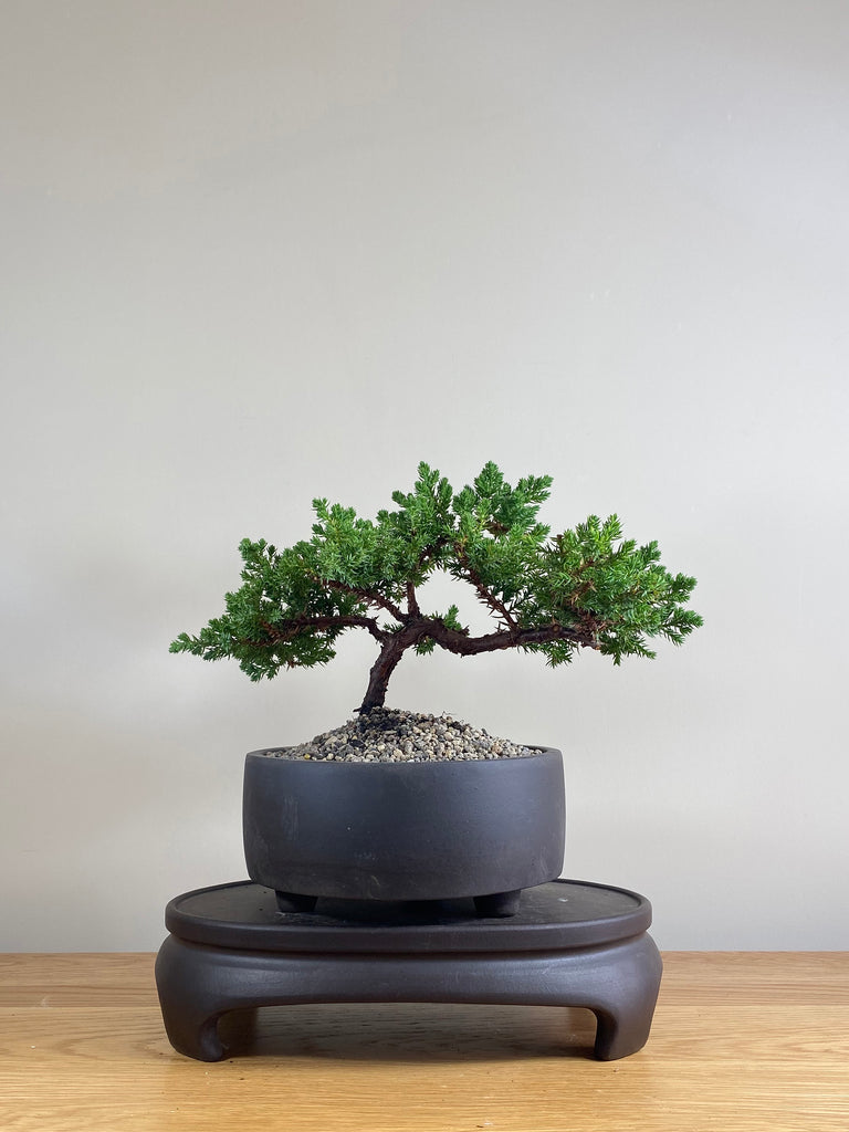 JAPANESE JUNIPER (JP03025) - MiniGardens NZ