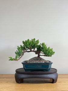JAPANESE JUNIPER (JP03026) - MiniGardens NZ