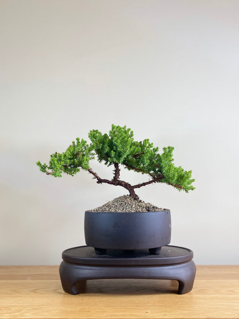 JAPANESE JUNIPER (JP03027) - MiniGardens NZ