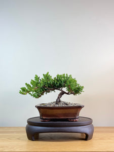 JAPANESE JUNIPER (JP03032) - MiniGardens NZ