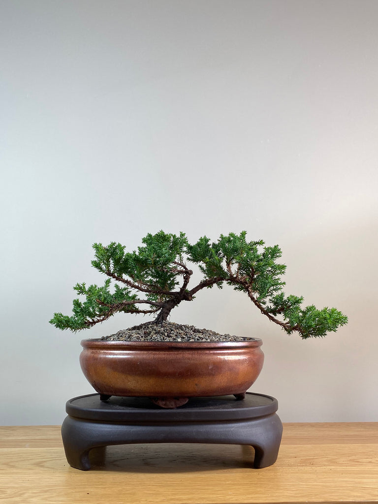 JAPANESE JUNIPER (JP03035) - MiniGardens NZ